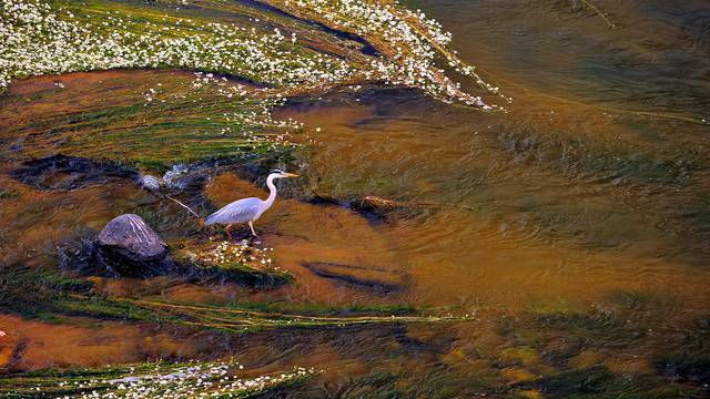 Airone sulla Loira © L. de Serres