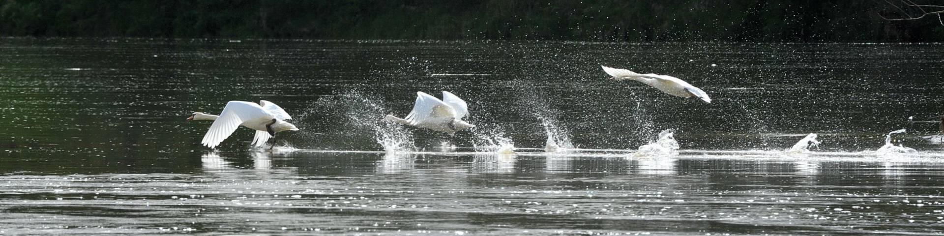 Volo di cigni sopra la Loira