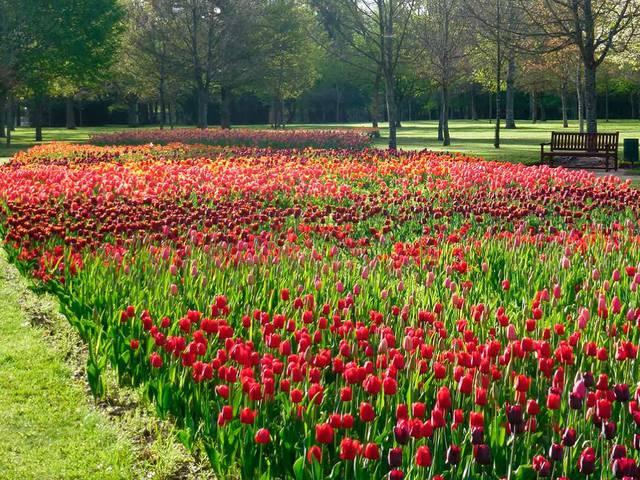 I 100.000 tulipani del castello di Cheverny. © OTBC