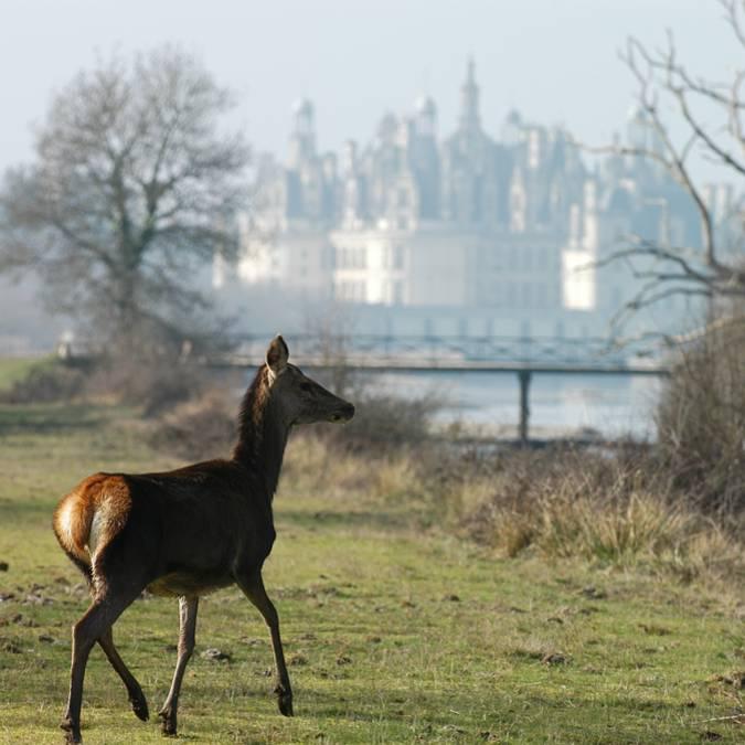 Giovane cervo nella natura di Chambord