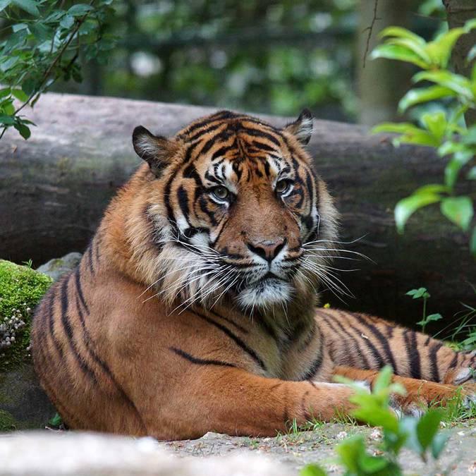Asu, la tigre di Sumatra dello ZooParc di Beauval
