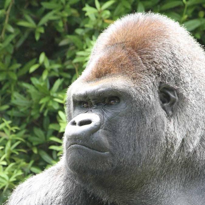 Asato, il gorilla dello ZooParc di Beauval