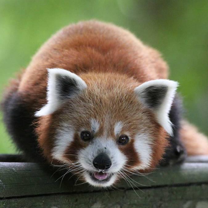Liao, la volpe rossa dello ZooParc di Beauval