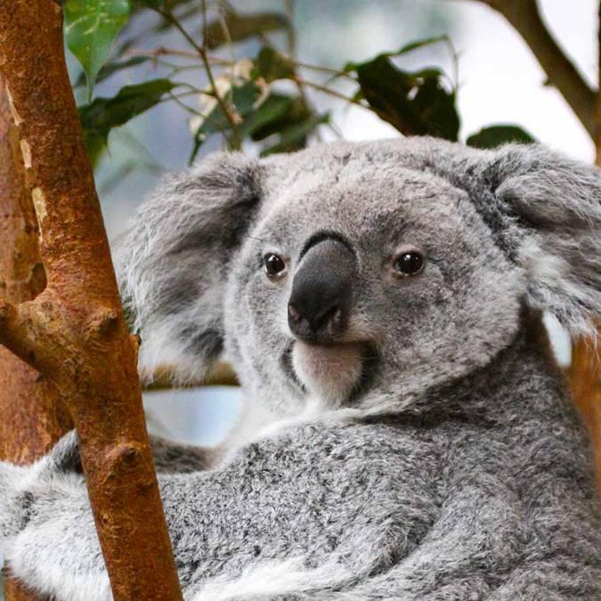 I koala di Beauval © ZooParc de Beauval