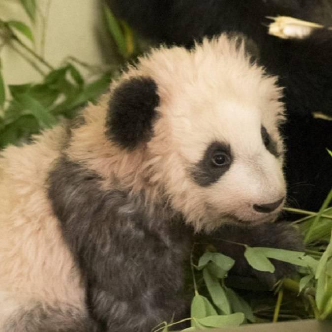 Yuan Meng, il bebè panda star dello ZooParc di Beauval. © Beauval